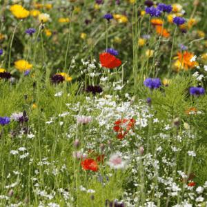 Wiesenpatenschaft für Blühwiese