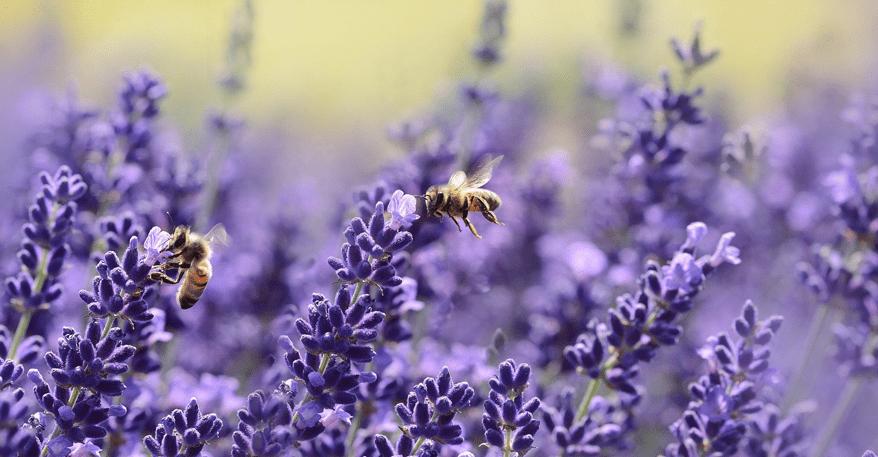 Wildkräuter Lavendel