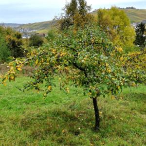 Obstbaum Patenschaft Weinstadt